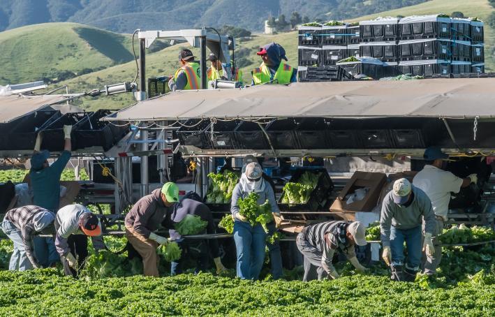 Central California Lettuce Harvest